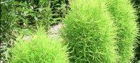 Хоста из семян посадка и уход