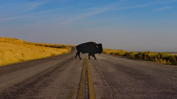 Búfalo atravessando a rua.