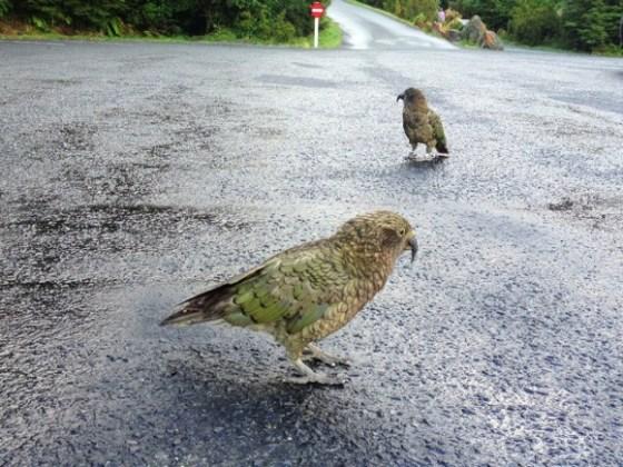 Kia Birds