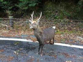 Yakushika deer