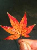 red-leaf.jpg