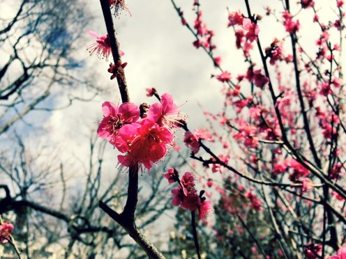 Early plum blossoms