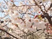 Cherry blossoms near Iidabashi Station
