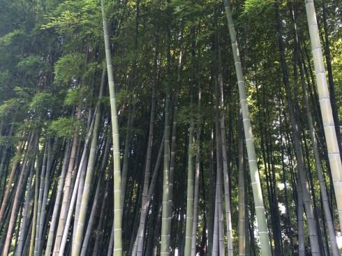 Bamboo groove at Kitanomaru Park