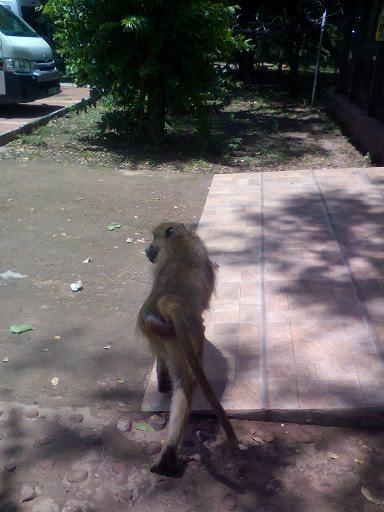 Victoria fall baboon