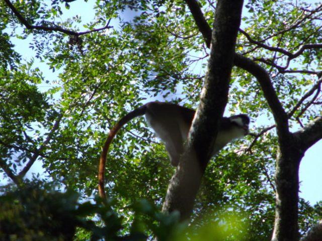 Griffin Falls Redtail monkey