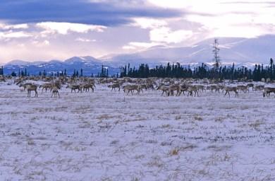 Band of caribou near Whitefish Lake around 2004