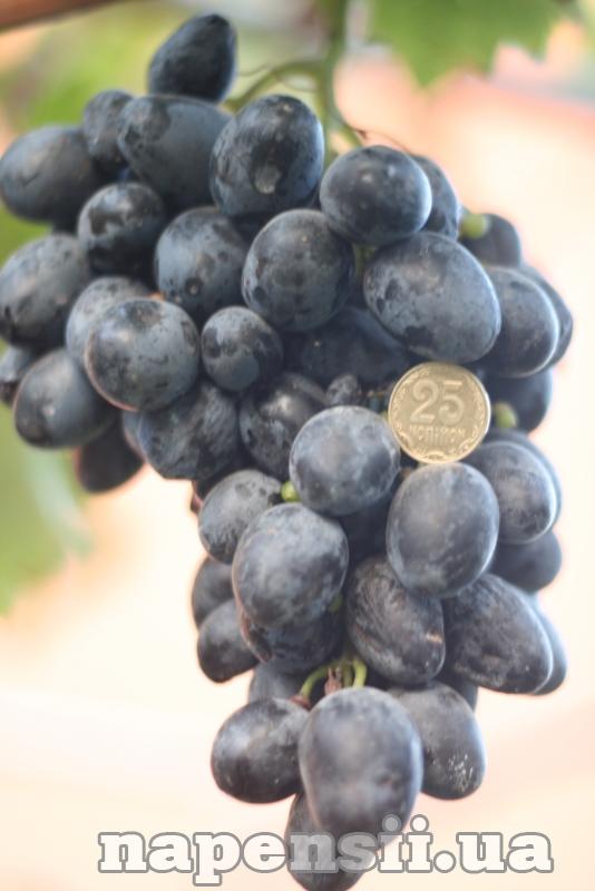 Найпродуктивніший сорт винограду росте на Прикарпатті