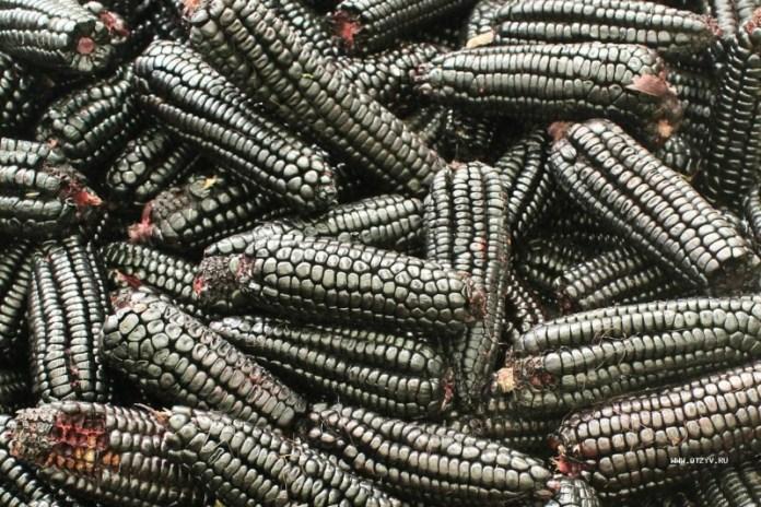 Черная кукуруза — панацея от многих болезней