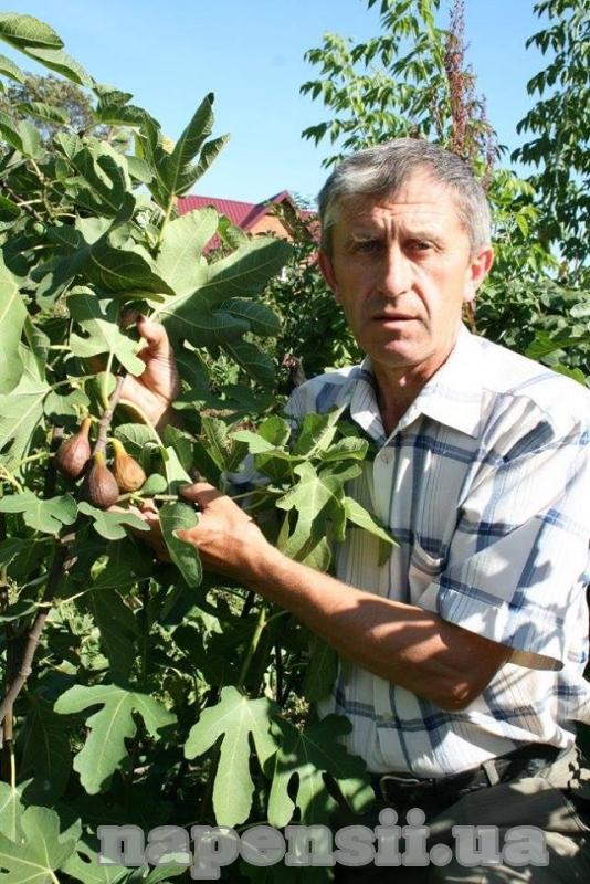 Мешканець Прикарпаття плекає великий інжирний сад