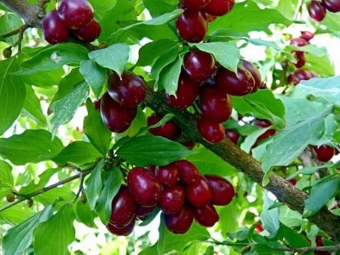 5 причин поганої врожайності смородини та аґрусу