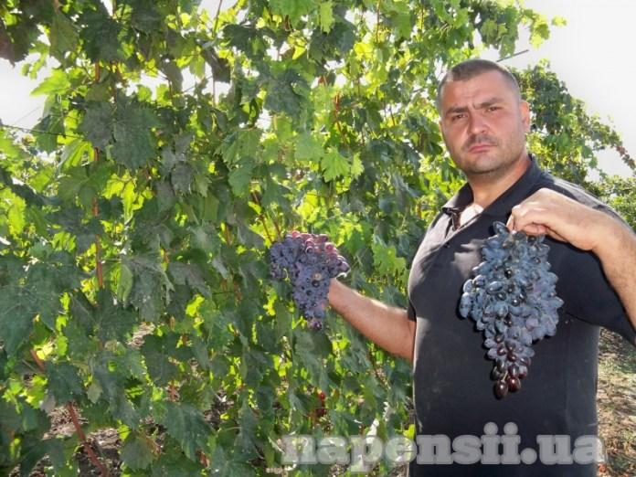 Одессит выращивает виноград со вкусом земляники и карамели