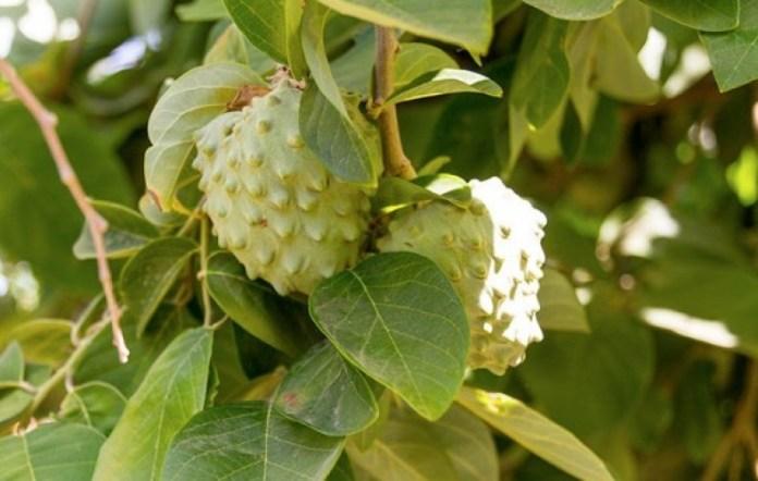 Экзотический фрукт со вкусом ананаса и земляники