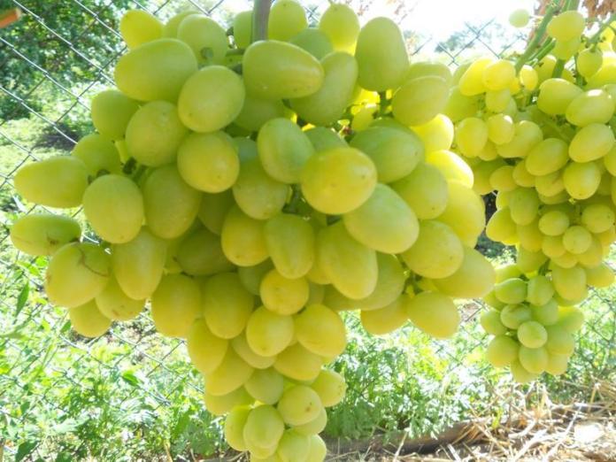 Сорт винограда №1