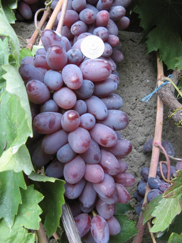 Новинки винограднику: сподівання і реальність