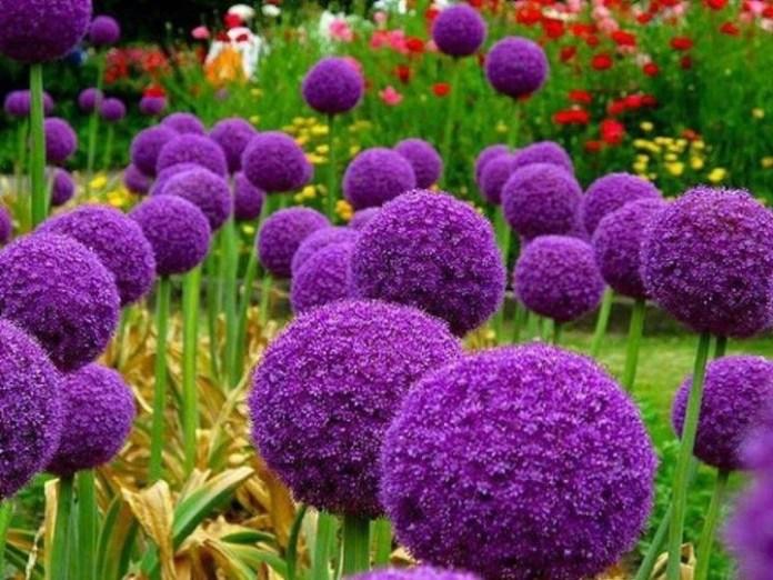 Анзур — настоящее украшение для сада