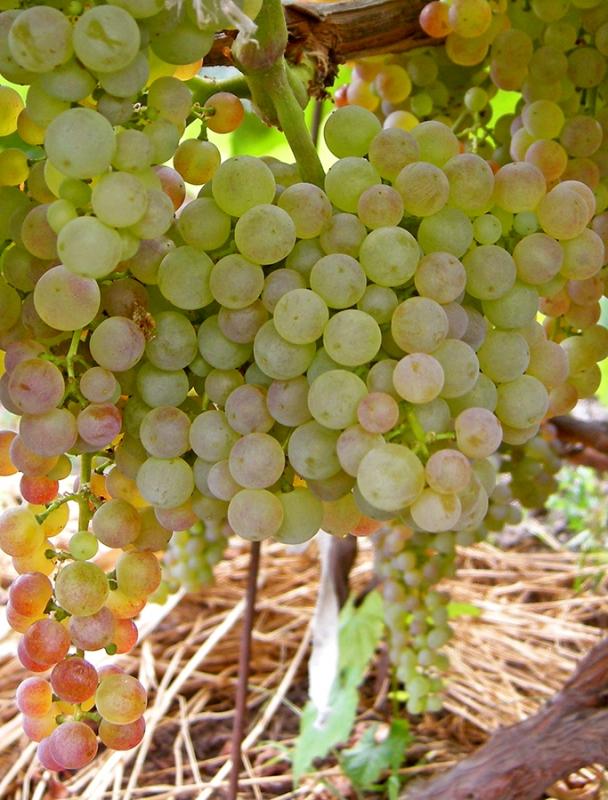 Найсмачніший сорт винограду