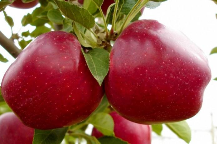 """Зимние сорта яблок для """"ленивых"""" дачников"""