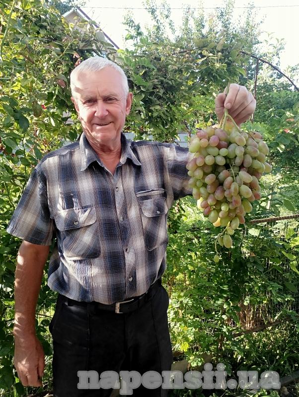 Виноградарь из Киевской области поделился технологией выращивания саженцев