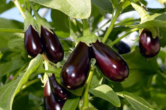 Способы выращивания баклажанов в разных уголках нашей страны