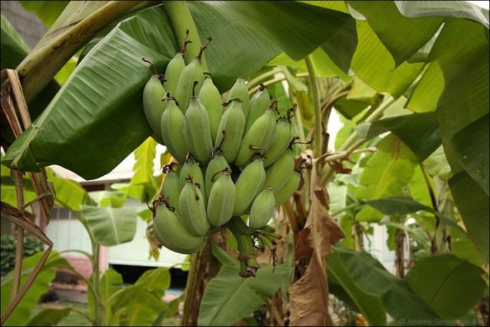 В Нидерландах начали выращивать бананы в субстрате