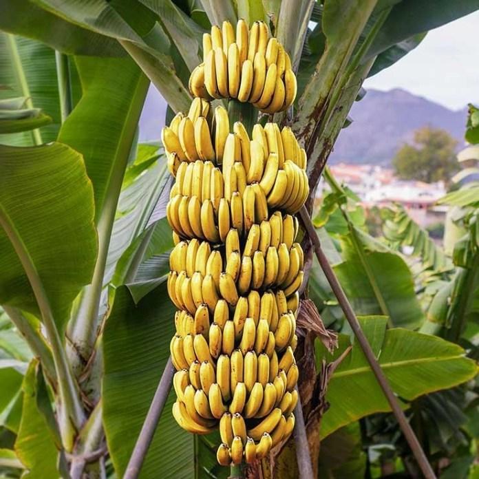 Во Львовской области выращивают бананы
