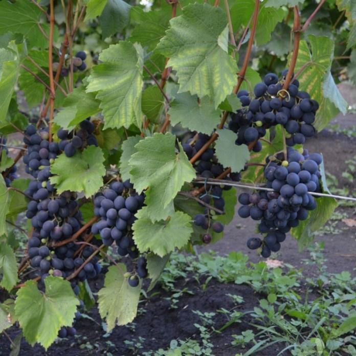 Сорти винограду для літніх людей