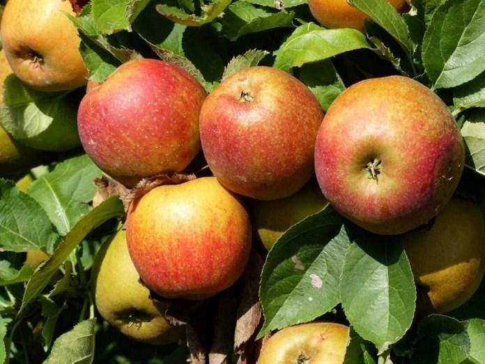 Кто урожайнее яблоня или груша?