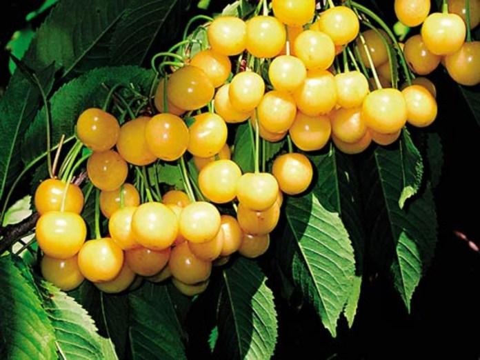 Желтая черешня поможет при ацетоне