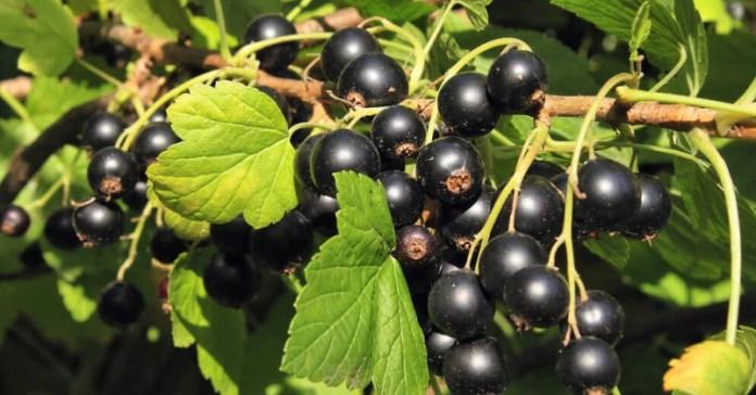 Подходит ли черной смородине соседство яблони?