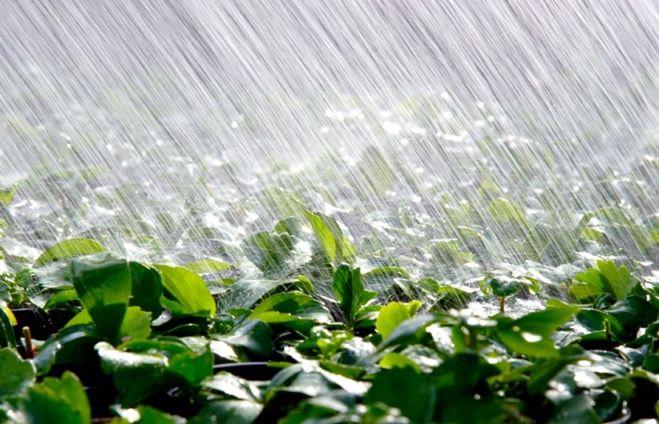 Чому весняні дощі не на користь ожині і смородині
