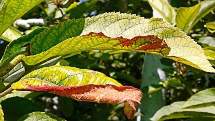Почему на деревьях желтеют листья