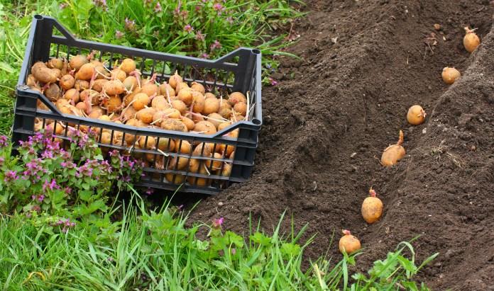картофель посадка