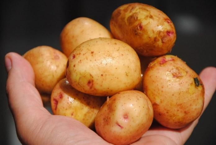 Для получения качественного урожая картофель нужно обновлять