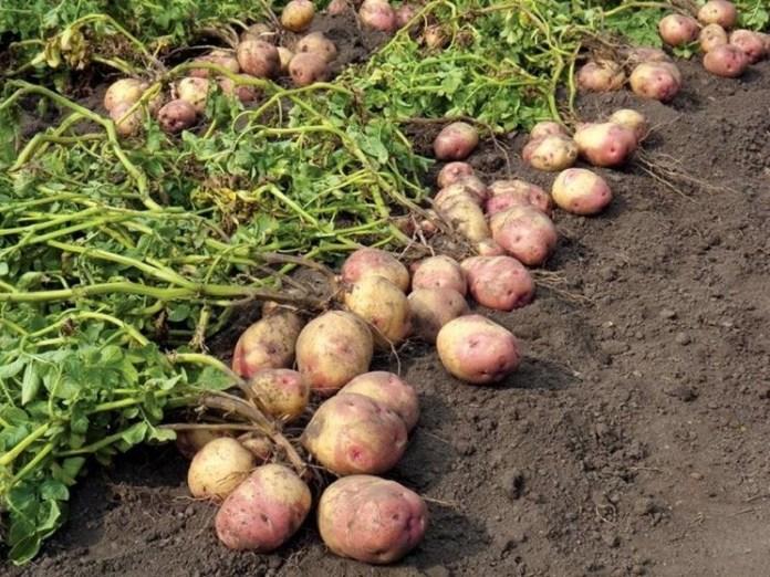 Когда приступать к уборке урожая картофеля