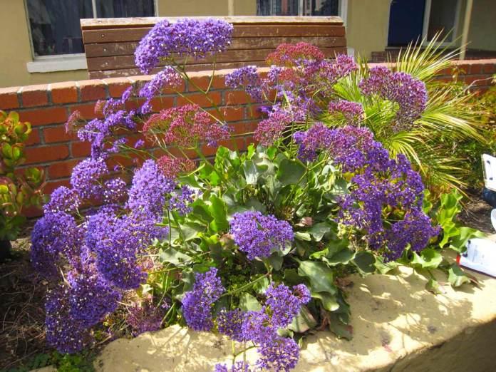 Миколаївська квітникарка розповіла про декоративну рослину, без якої важко уявити сучасний сад