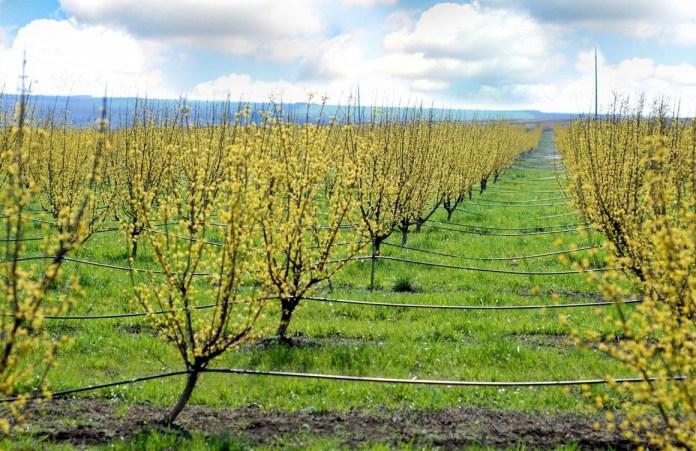В Запорожской области планируют собрать 44 тонны кизила