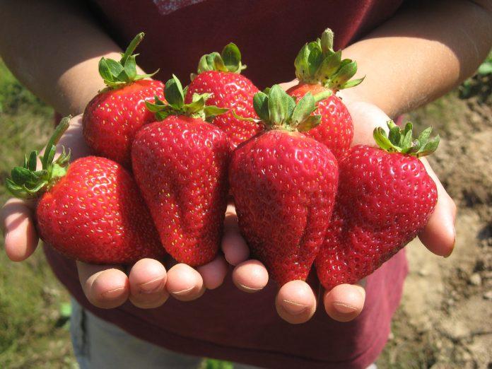 В Калифорнии выведены 2 самые сладкие сорта земляники садовой
