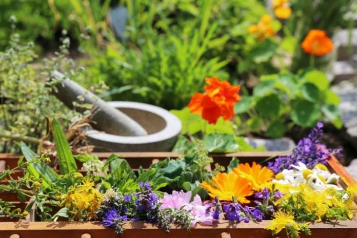 Как вырастить лекарственные растения на грядке
