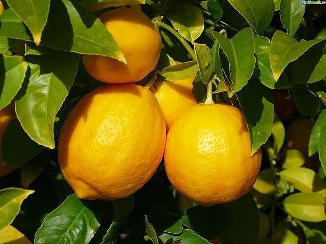 Лимон - оберег от простуды и гриппа