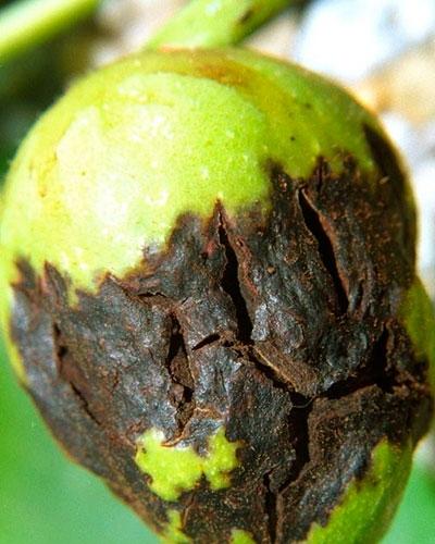 Как избавиться от марсонии на орехах
