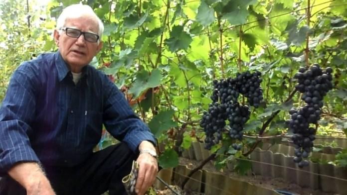 Опытный виноградарь рассказал