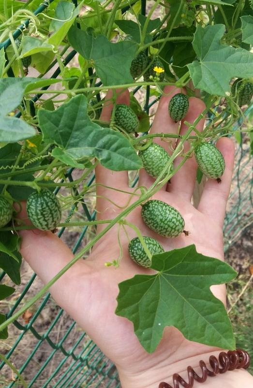 Овочівниця з Херсонської області вирощує екзотичні огірки