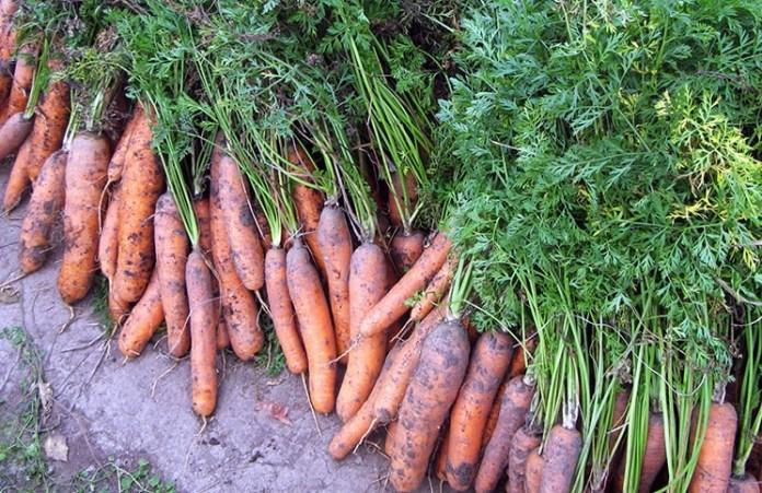 Бурая пятнистость уничтожает морковь