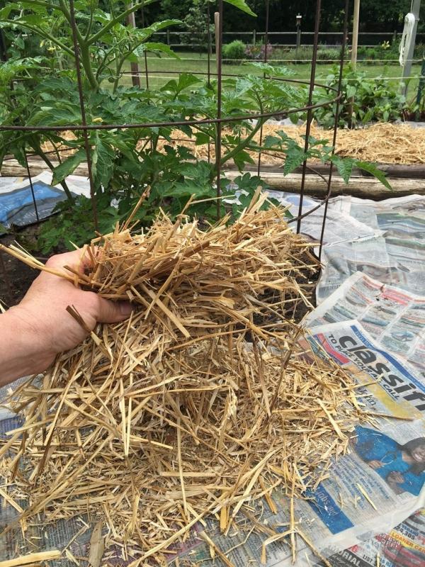 В жару томаты спасет мульча