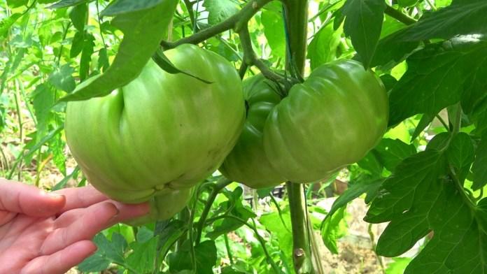 листья на томатах