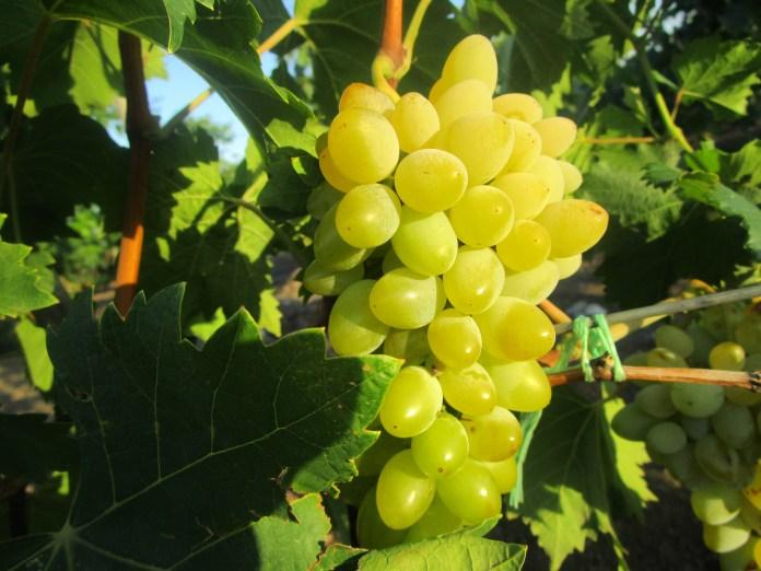 Прикарпатський виноградар назвав сорт, який цьогоріч був найврожайнішим