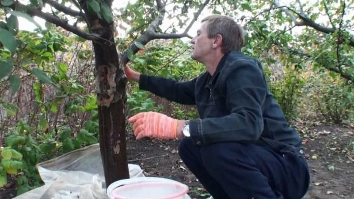 Очищаем штамбы плодовых деревьев