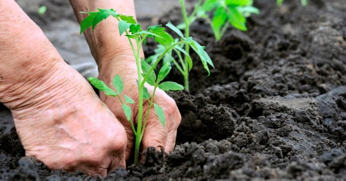 садіння томатів