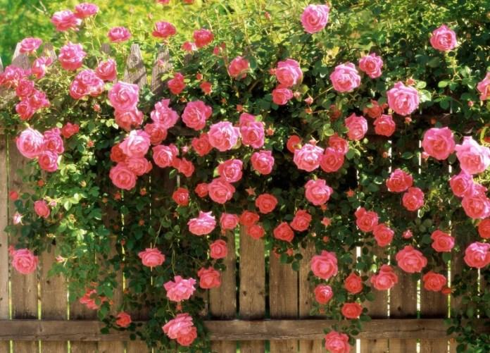 Мастер-класс: размножаем розы